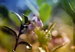 Цветёт брусника
