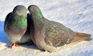 Любовь и голуби.